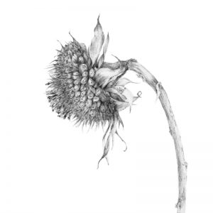 Decay iv ~ The Sunflower