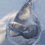 Oransay Dove/ Calum Cille