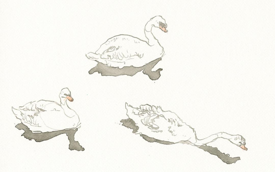 Alice White Swans