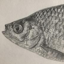Judge-Anna-ASGFA-Fish